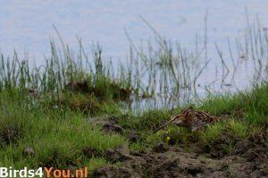 Vogelexcursie Watersnip Jaap Deensgat