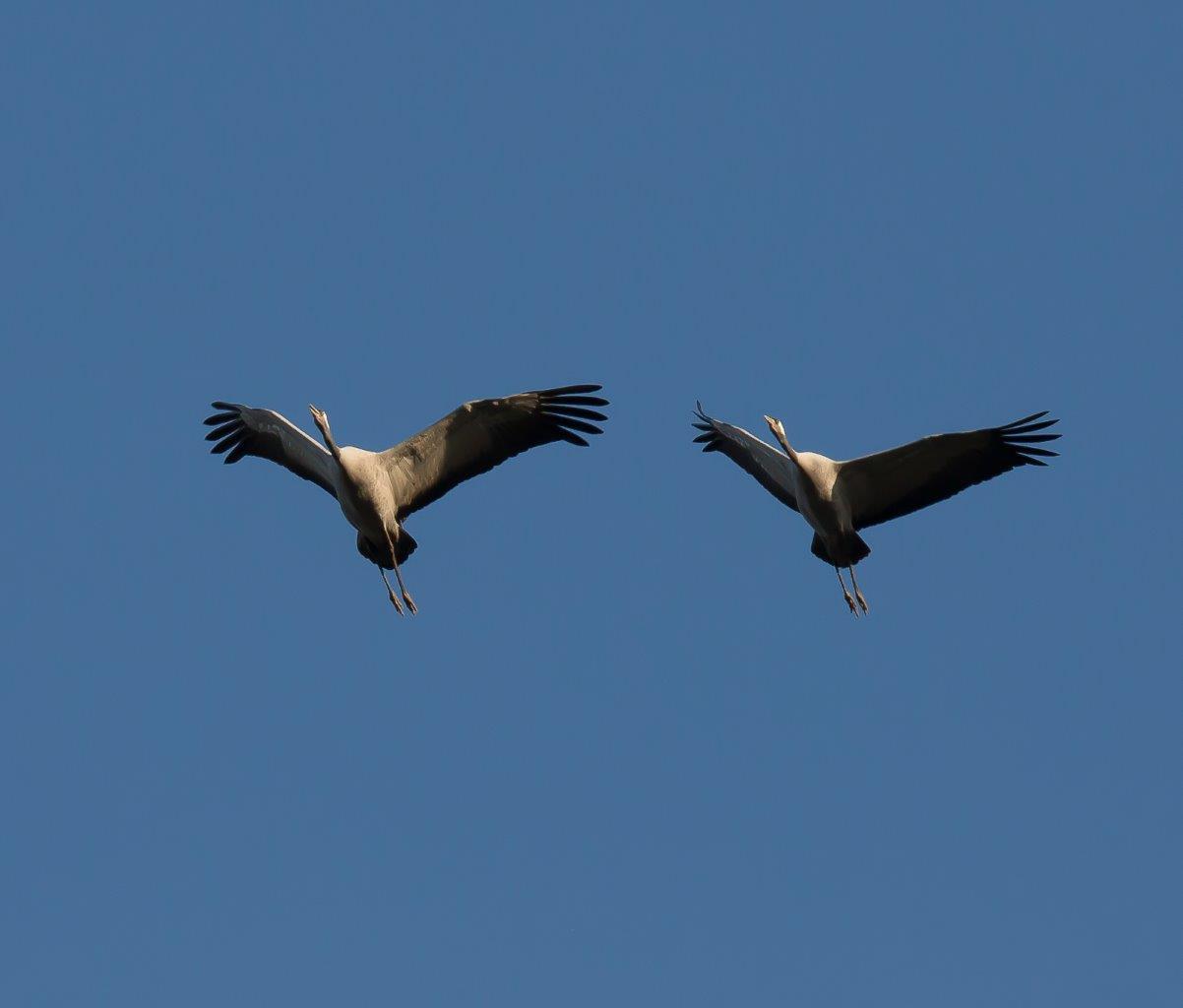 2 Kraanvogels vliegend (foto Hessel)