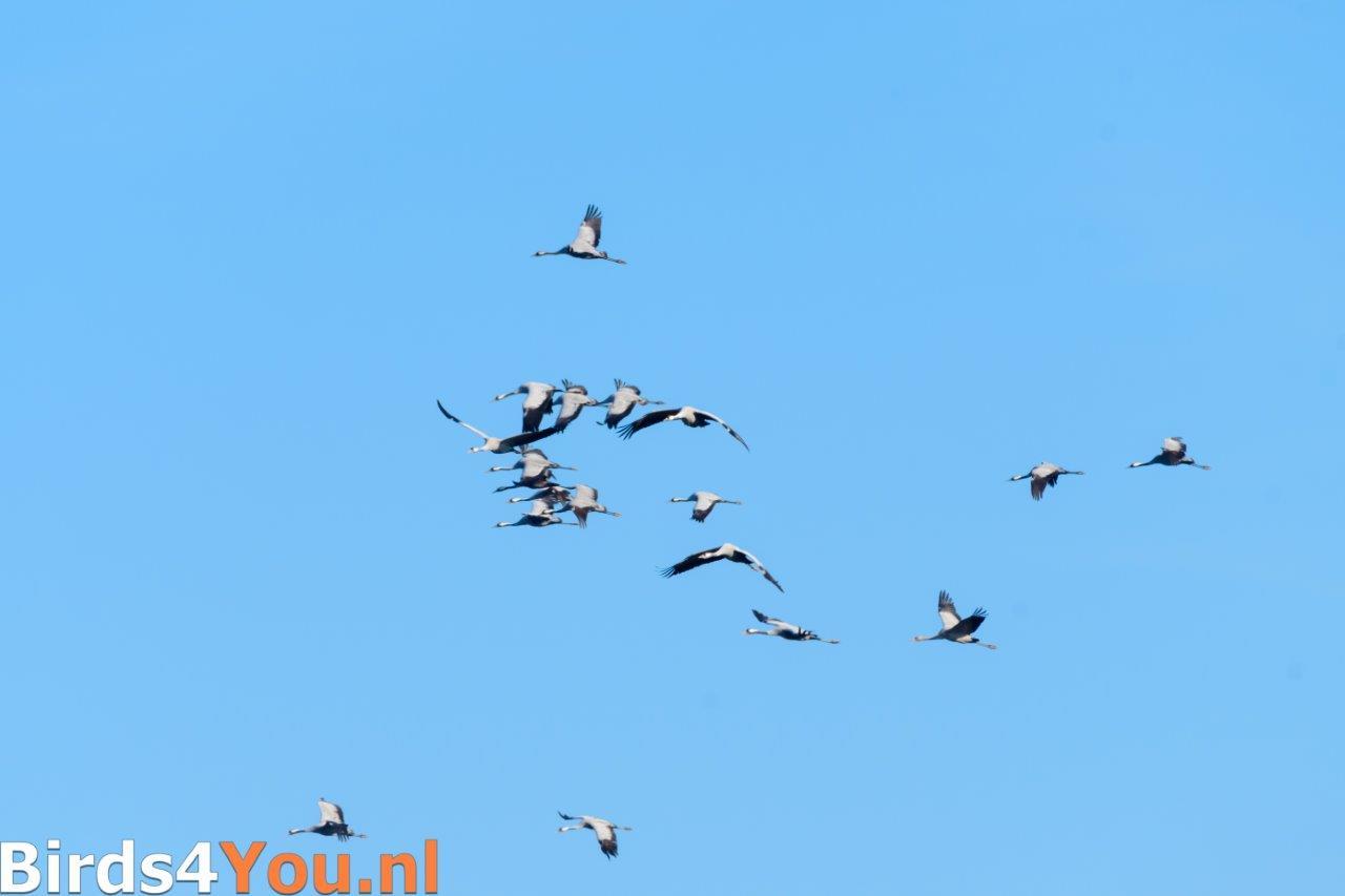 Grote groep overvliegende kraanvogels