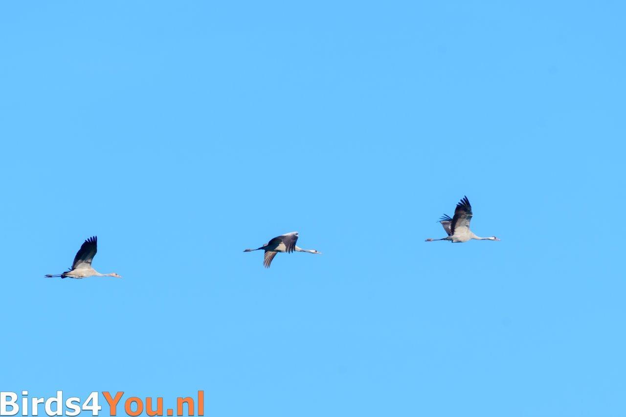 Kraanvogel ouders met jong overvliegend
