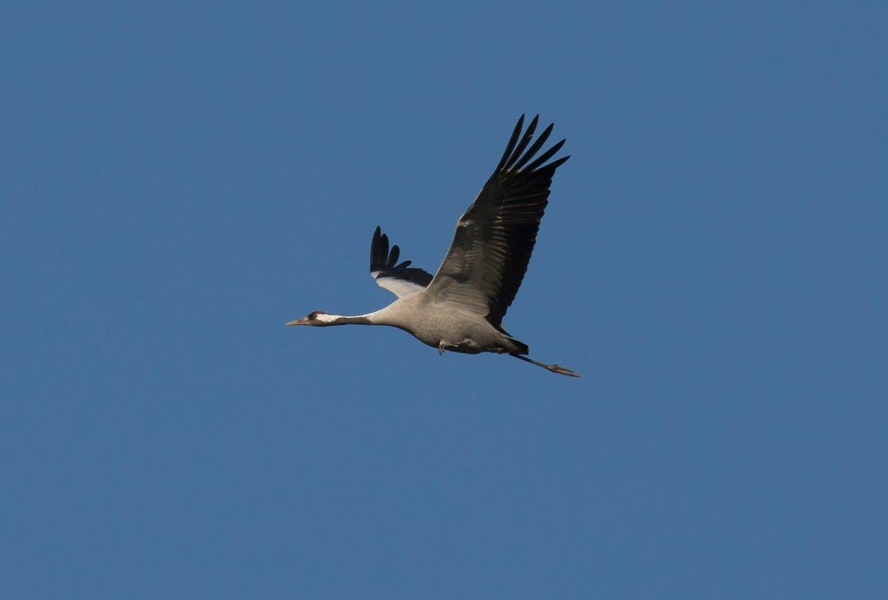 Kraanvogel vliegend (foto Hessel)