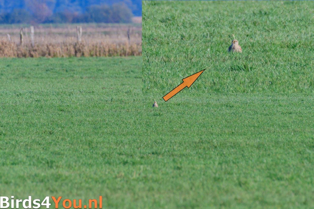 Kraanvogelexcursie 2018 Torenvalk in het gras