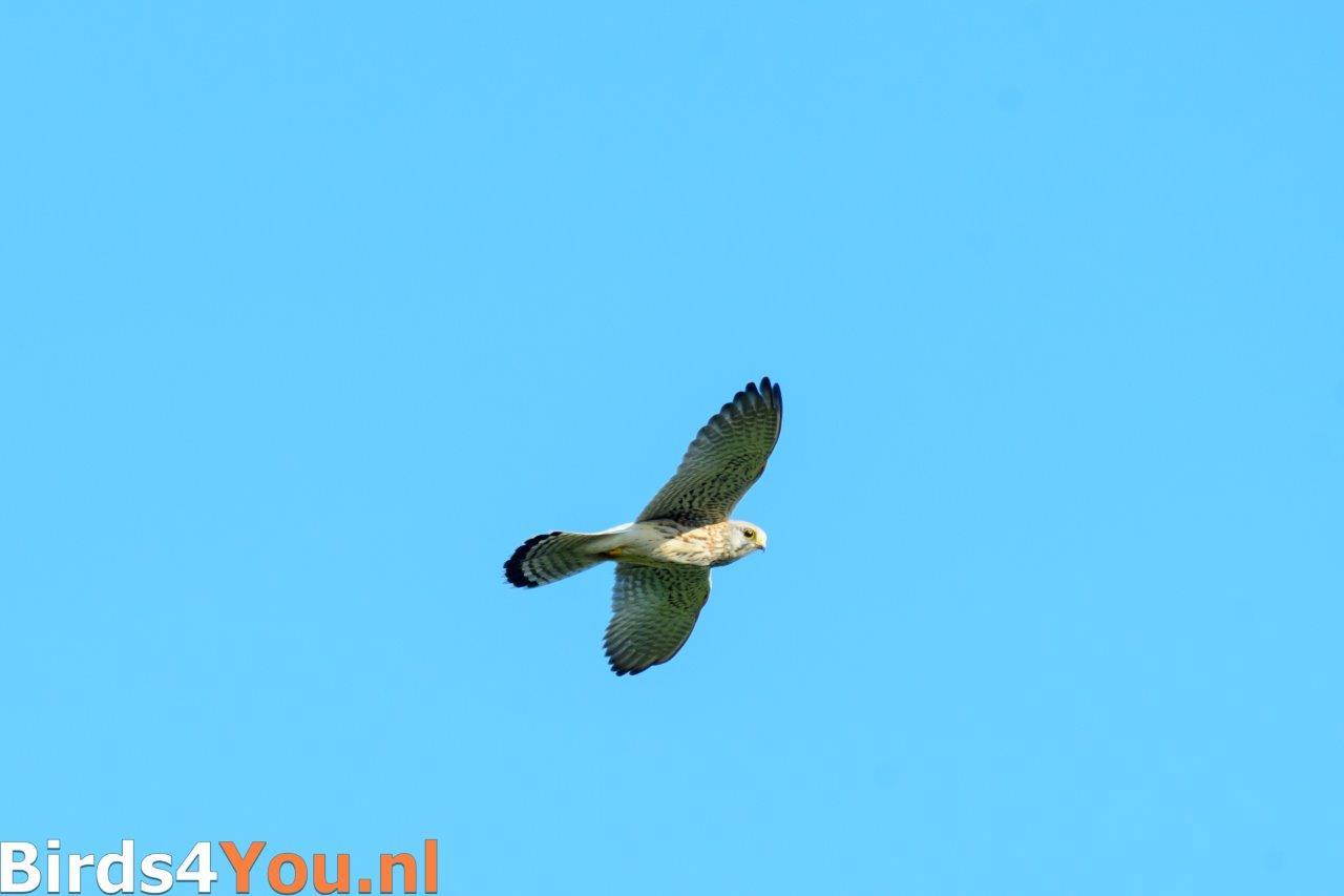 Kraanvogelexcursie 2018 Torenvalk vliegend