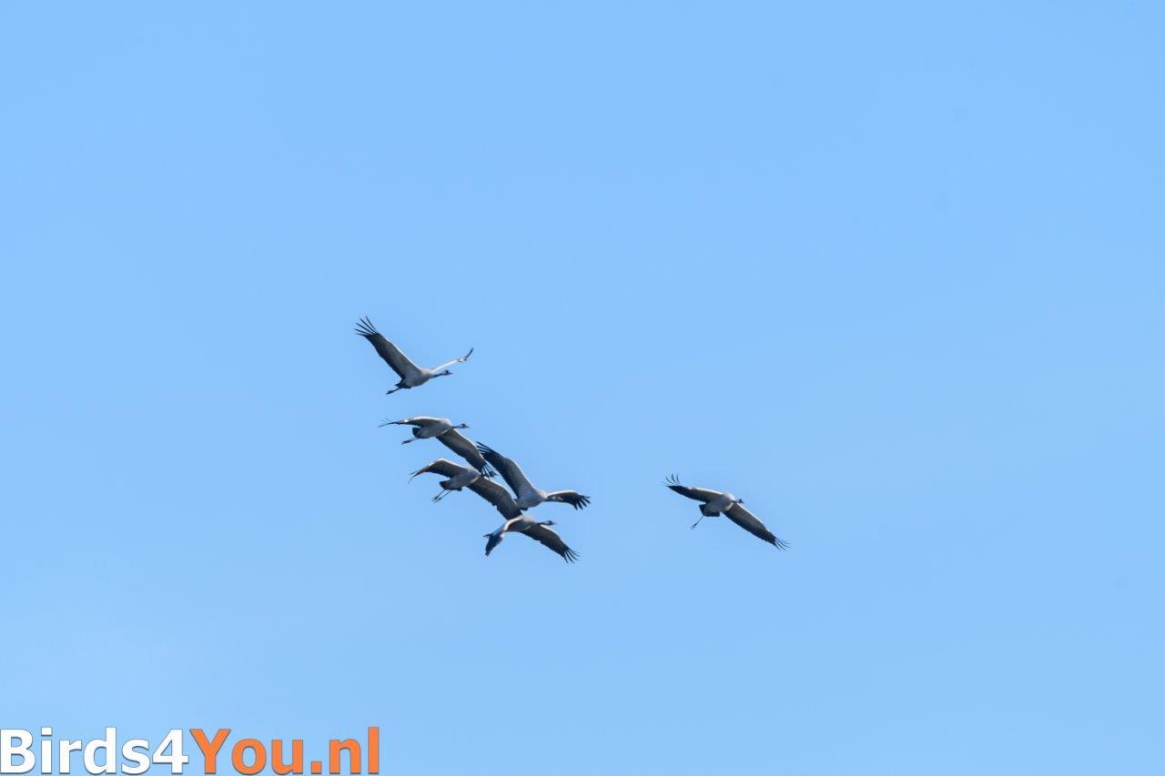 Kraanvogelexcursie 2018 overvliegende kraanvogels