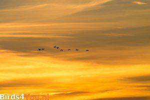 Kraanvogels in de zonsondergang