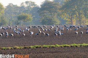 Kraanvogels op een akker