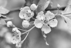 Lentebloesem Zwart Wit