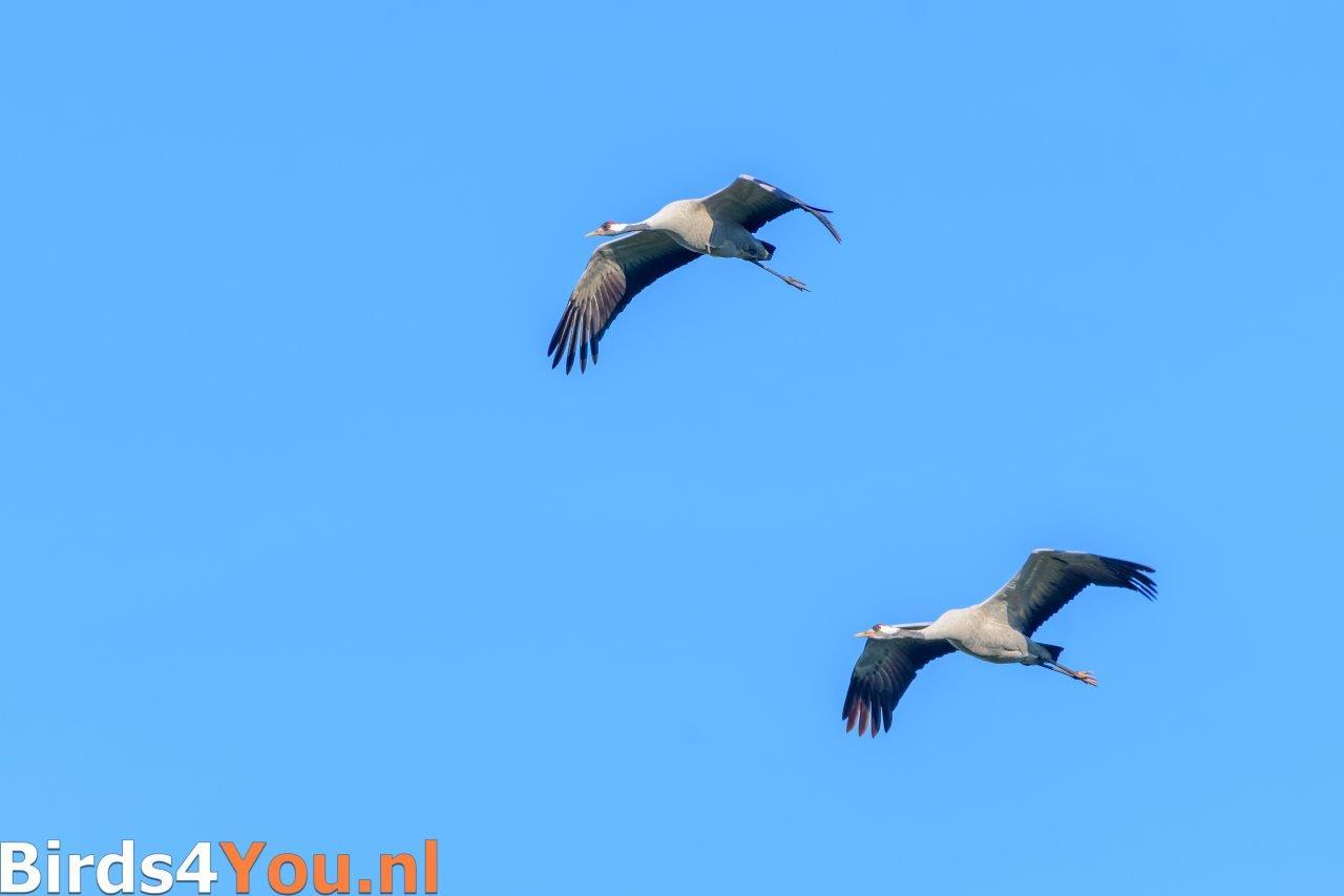 Twee Kraanvogels laag overvliegend