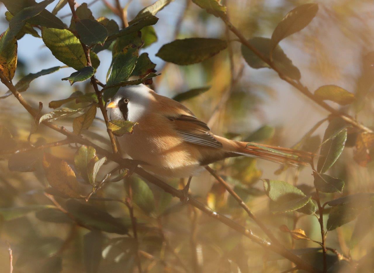 Vogelexcursie Lauwersmeer 2018 Baardmannetje