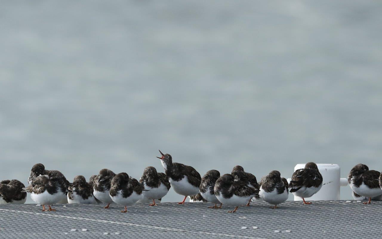 Vogelexcursie Lauwersmeer 2018 Steenlopers