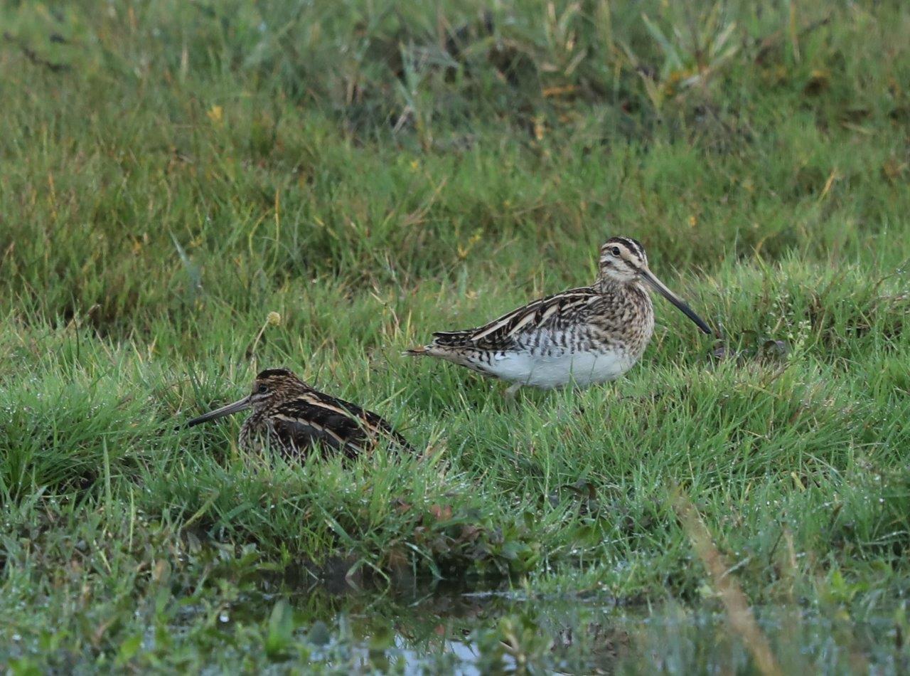Vogelexcursie Lauwersmeer 2018 Watersnippen
