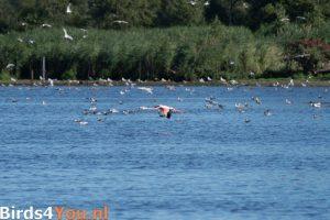 Flamingo in vlucht