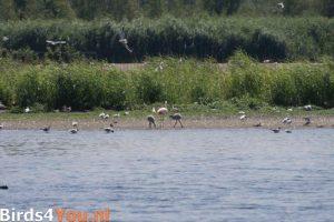 Flamingo met jongen