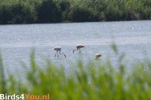 Foeragerende Flamingo's