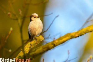 Vogelexcursie Drentsche Aa Staartmees