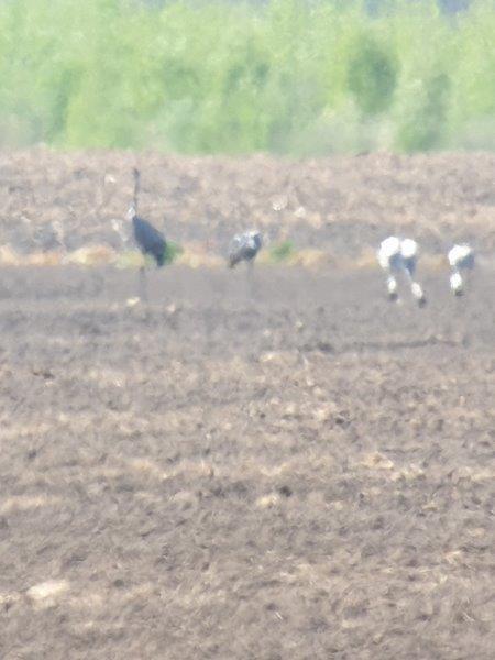 Kraanvogels in het land