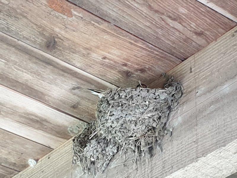 Boerenzwaluw op het nest