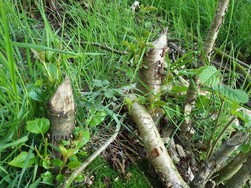 Door Bever aangenkaagde bomen