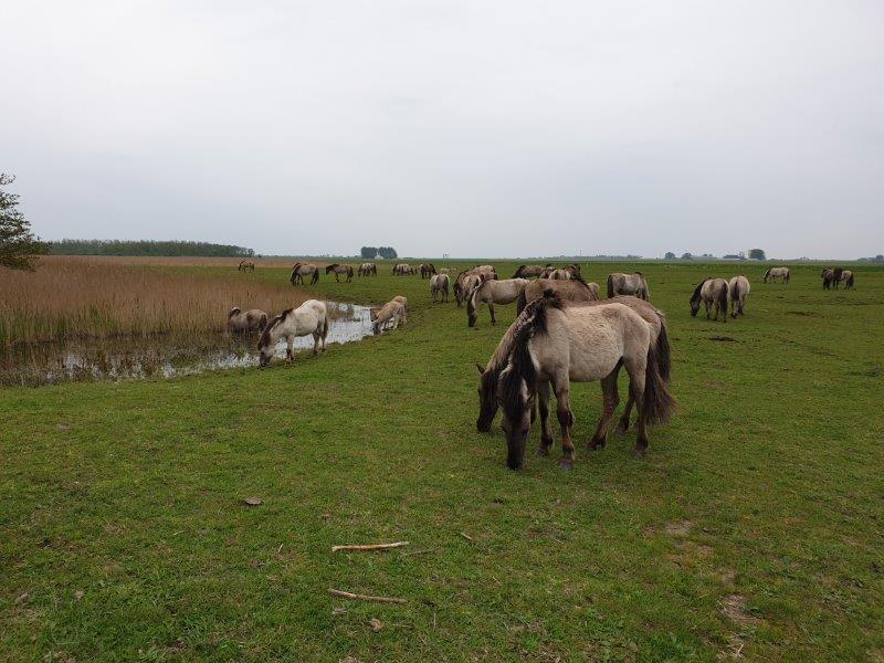 Konik-horses in the field