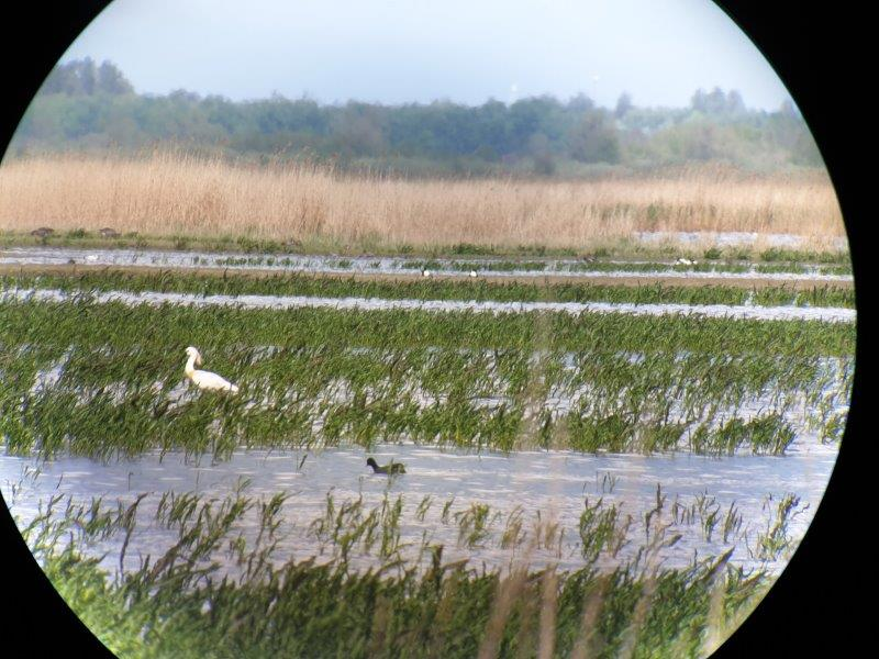 Vogelexcursie Lauwersmeer Lepelaar