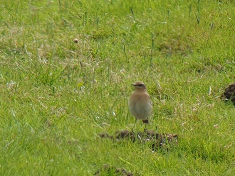 Vogelexcursie Lauwersmeer Tapuit