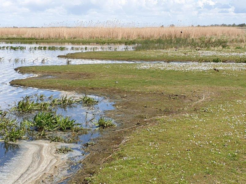 Vogelexcursie Lauwersmeer baltsplaats van Kemphanen