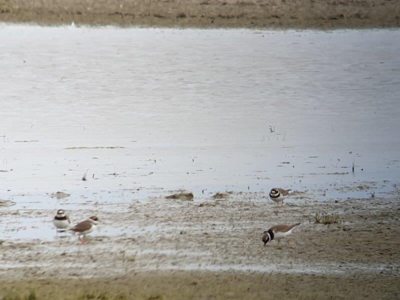 Verslag Privé vogelexcursie Lauwersmeer 25 mei 2019