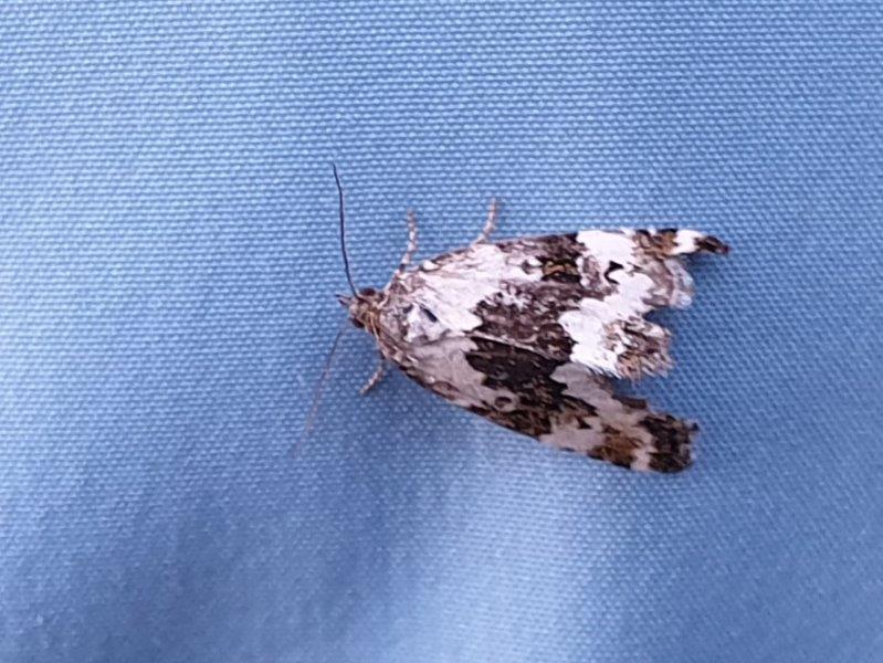 Nachtvlinder op jas