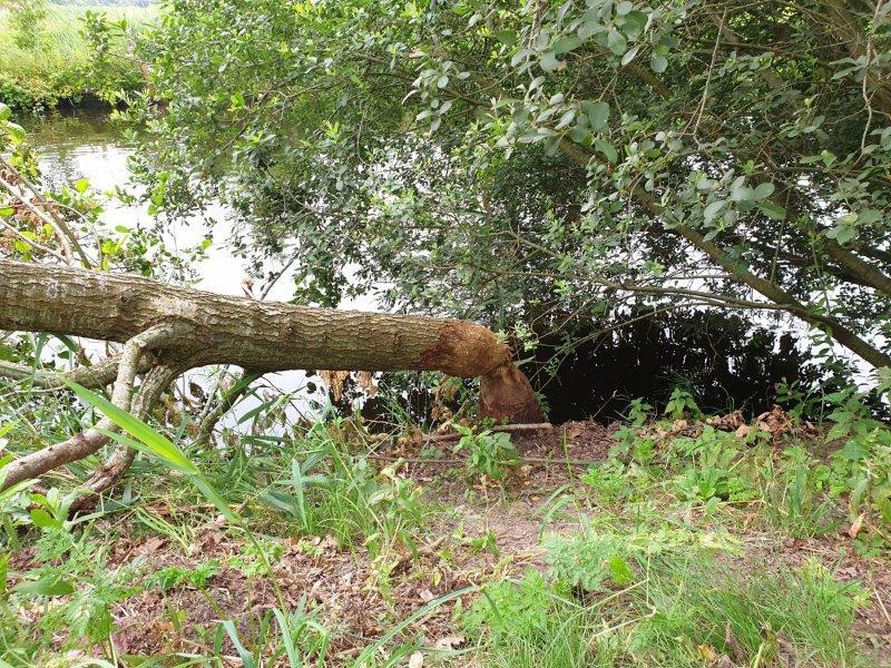 Bever heeft boom om geknaagd