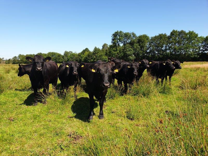 Fotogenieke runderen