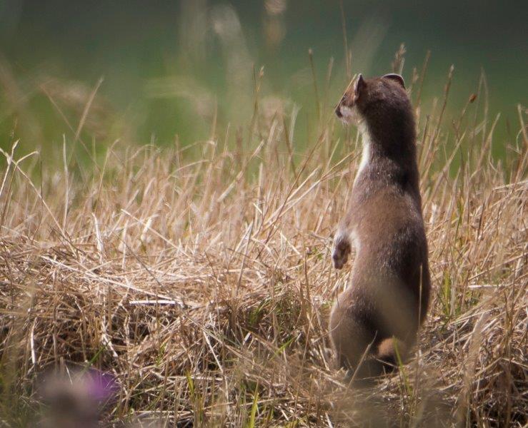 Hermelijn Zuidlaardermeer (gefotografeerd door Nienke)