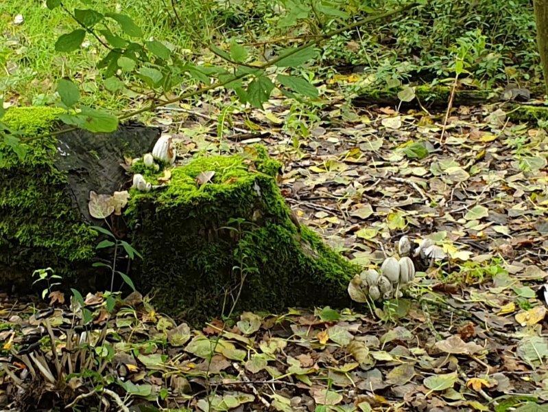 Inktzwammen in het bos