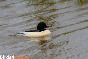 Vogelexcursie Friese Veen Grote Zaagbek