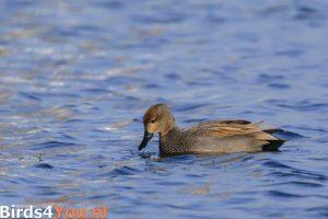 Vogelexcursie Friese Veen Krakeend