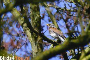 Vogelexcursie Friese Veen Kramsvogel