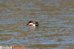 Vogelexcursie Friese Veen Slobeend