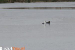 Vogelexcursie Lauwersmeer Nonnetje