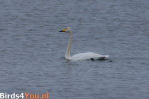 Vogelexcursie Lauwersmeer Wilde Zwaan