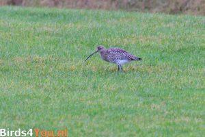 Vogelexcursie Lauwersmeer Wulp