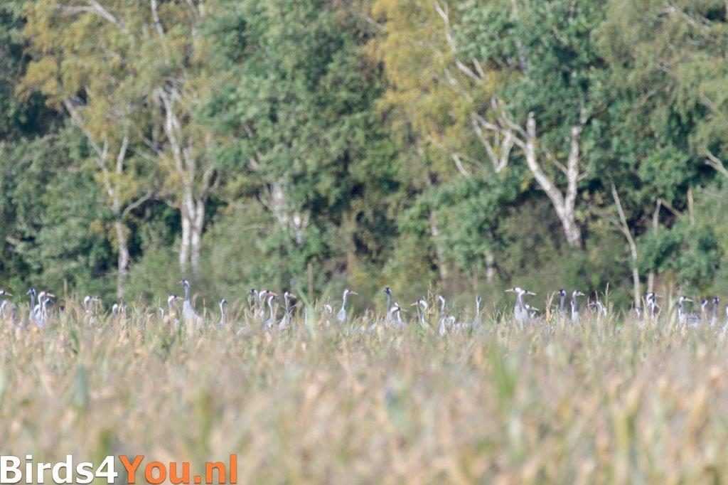 Koppen van Kraanvogels