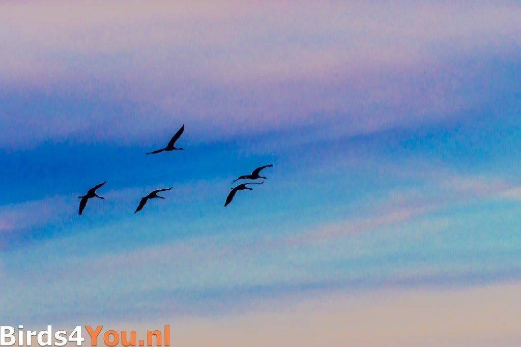Kraanvogels tegen de avondlucht