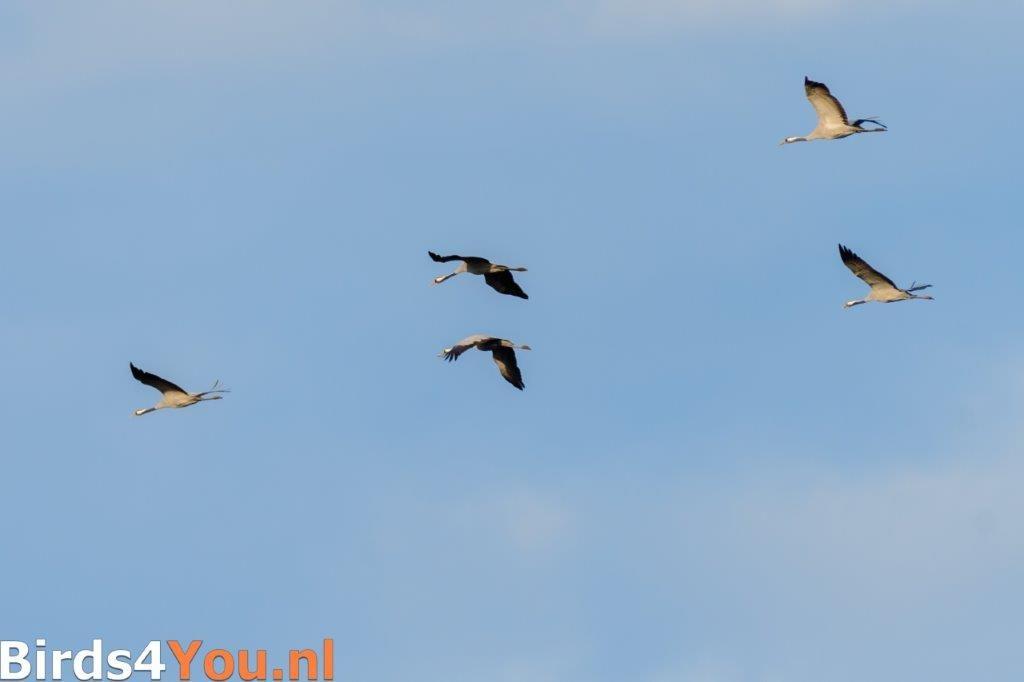 Overvliegende Kraanvogels