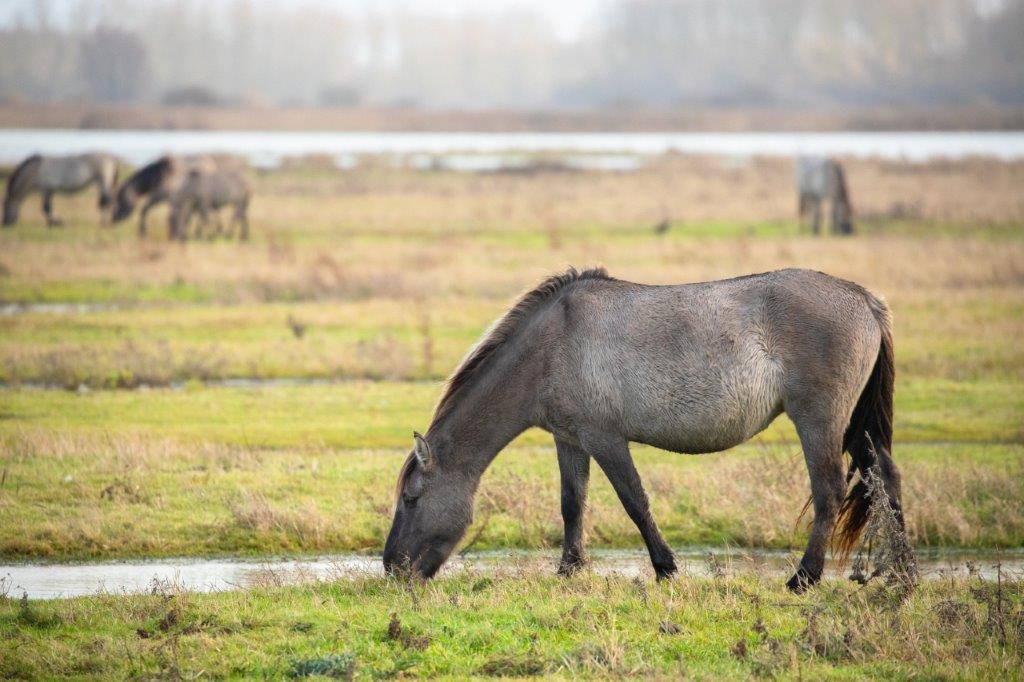 Konikpaarden bij Ezumakeeg (foto door Matthijs)