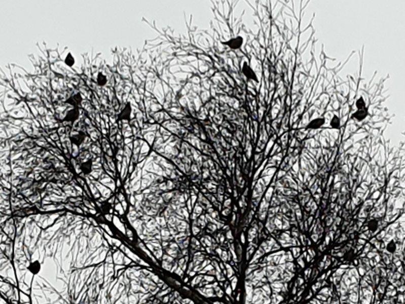 Boom met 26 Pestvogels