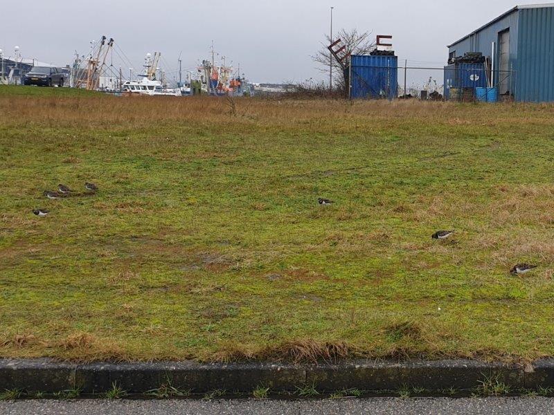 Steenlopers in de haven
