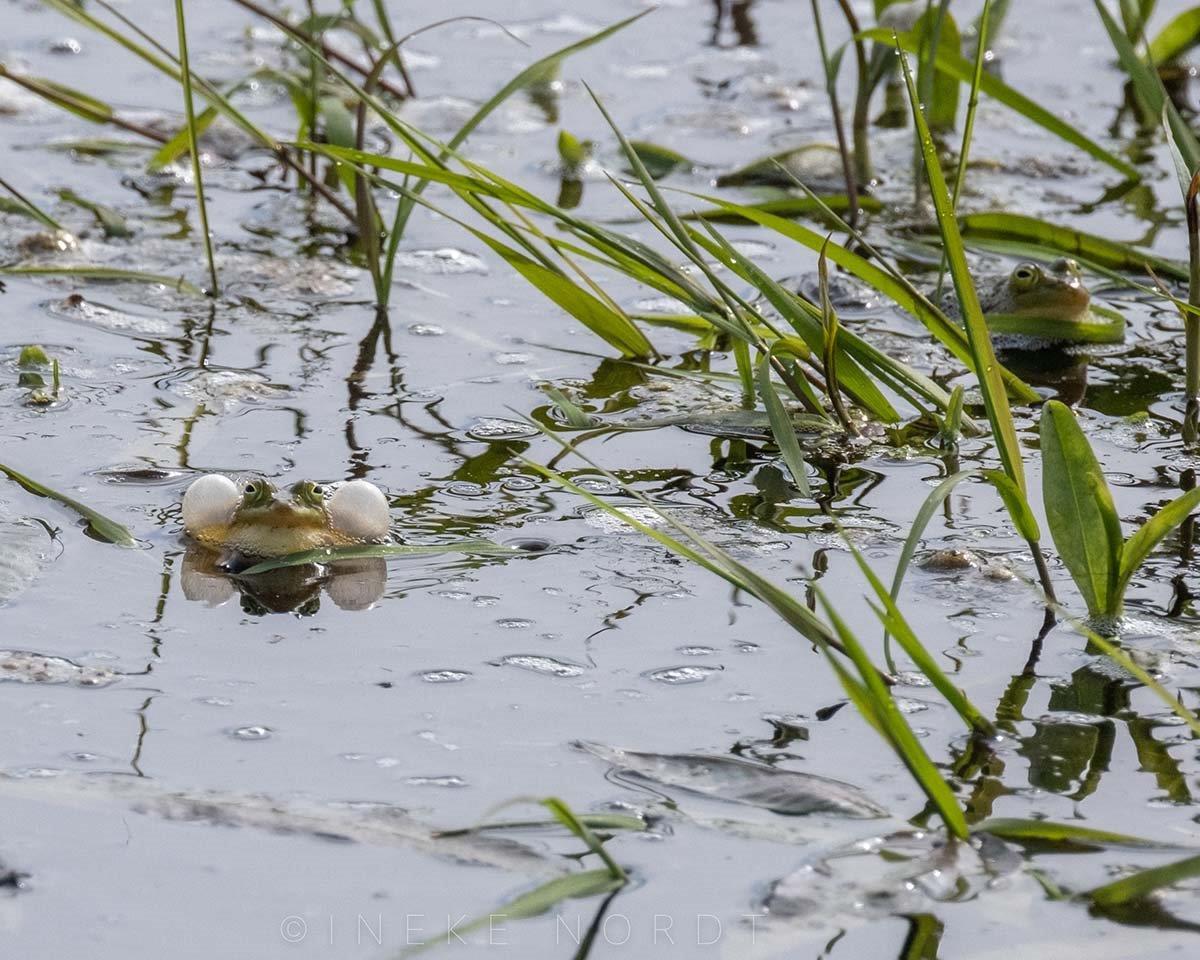 groenekikker (foto door: Ineke Nordt)