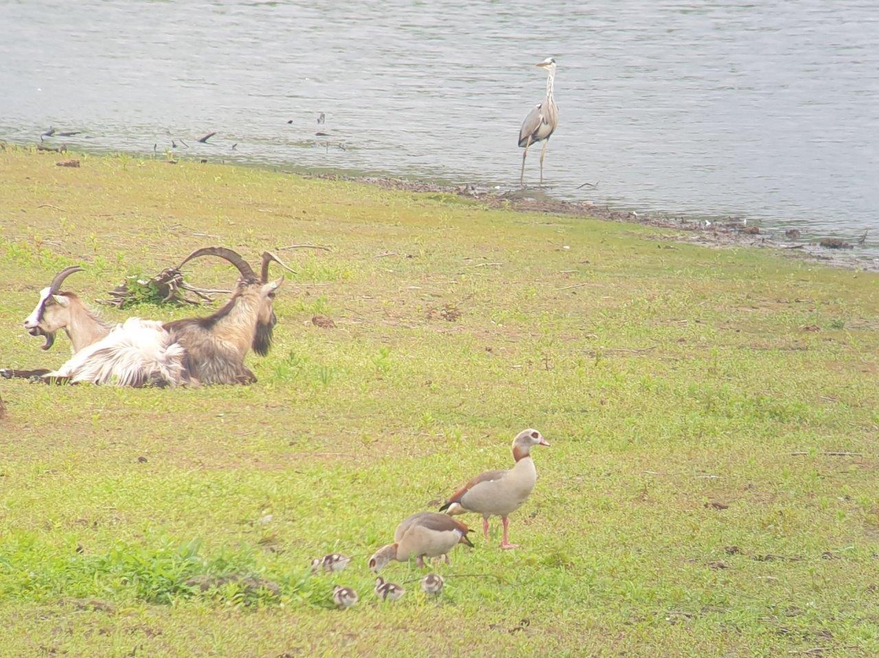 Vogelexcursie Zuidlaardermeer Familie Nijlgans