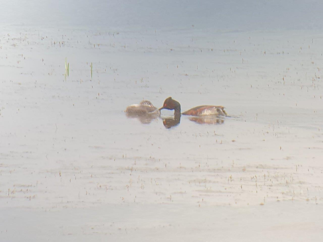 Vogelexcursie Zuidlaardermeer Geoorde Fuut met jong
