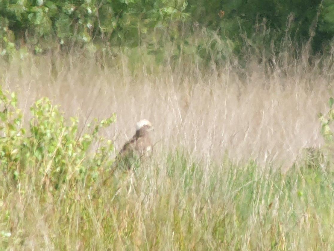 Bruine Kiekendief in het gras