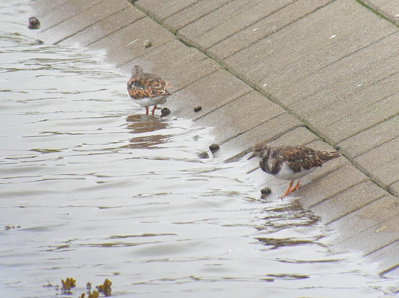Steenlopers in het water